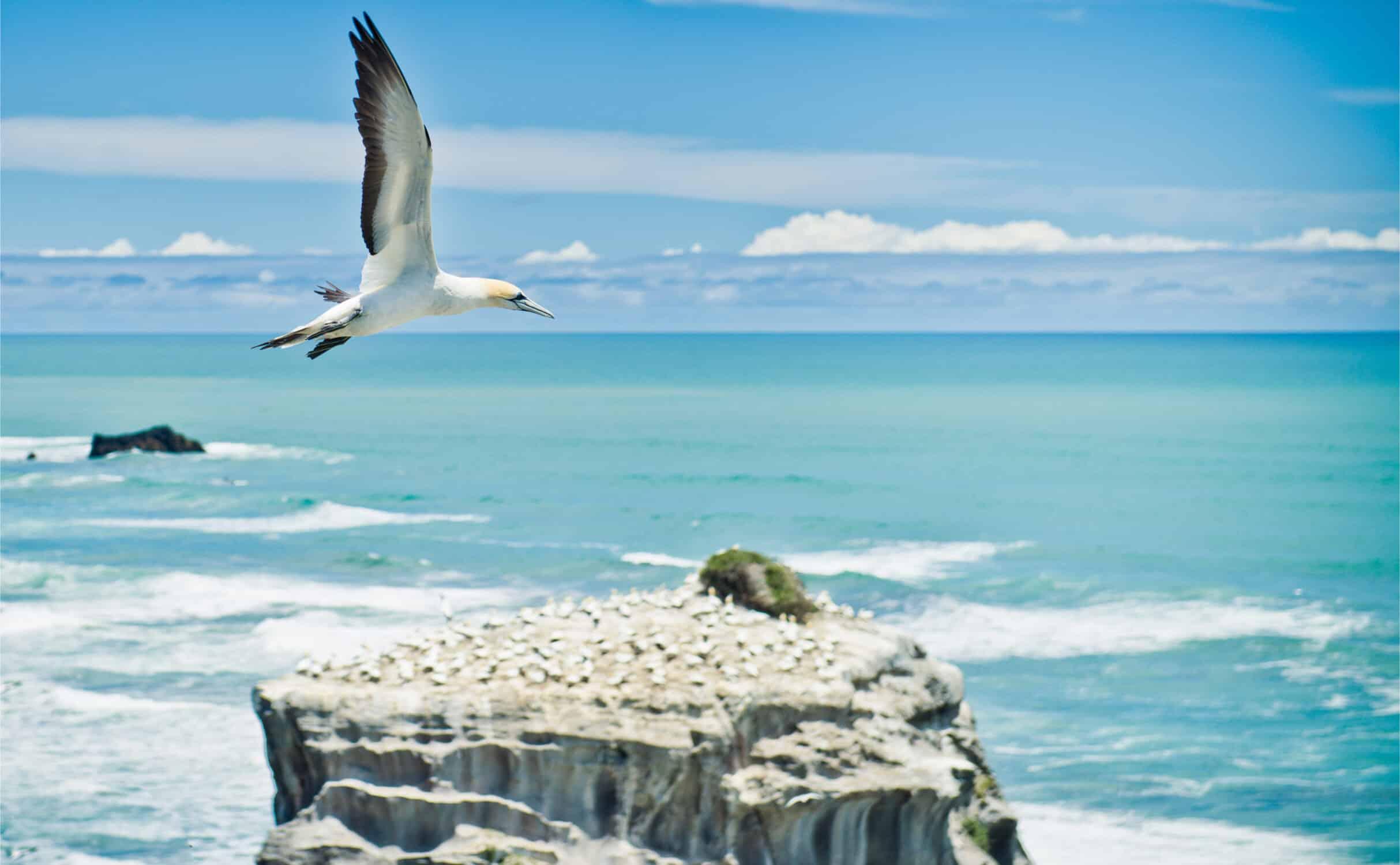 Australischer Tölpel am Muriwai Beach
