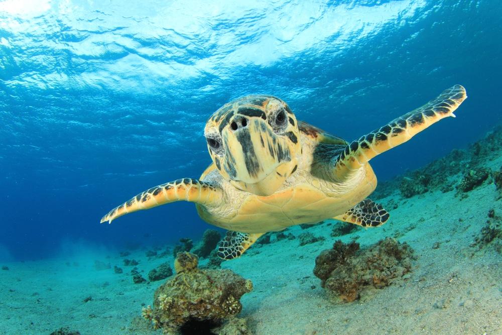 meeresschildkröte rotes meer israel
