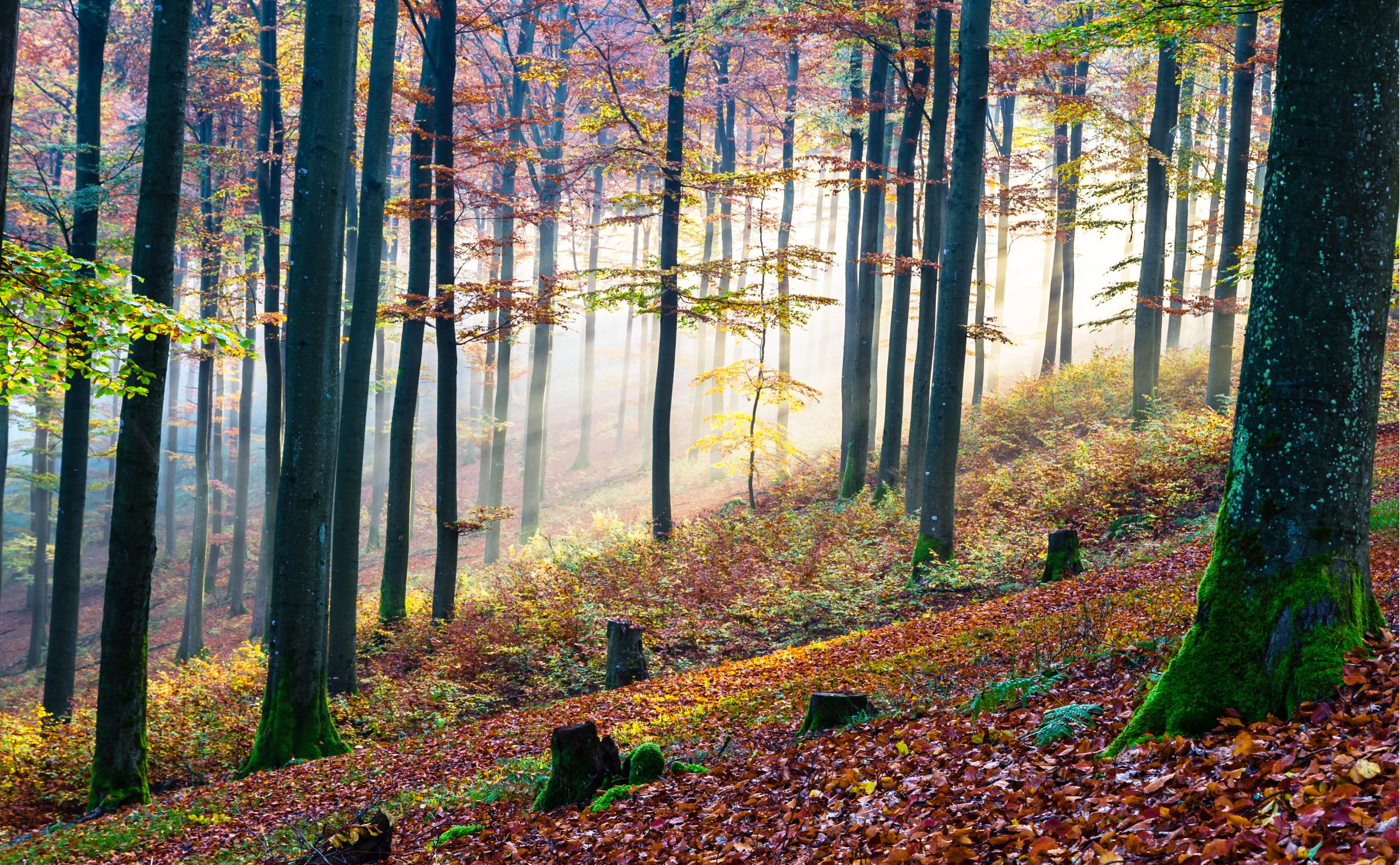 Buchenwälder am Rothaarsteig im Herbst