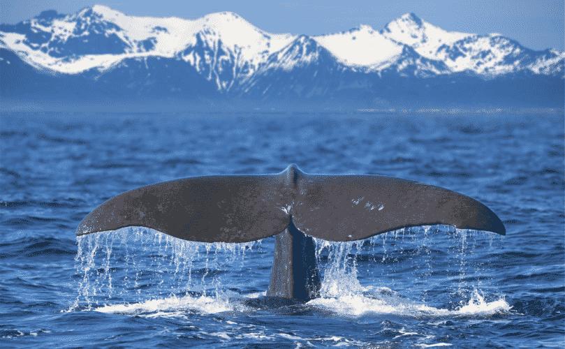 Wa(h)lheimat Weltmeere: Faszinierende Fakten über Wale