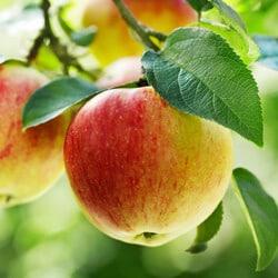 Knackige Äpfel - Nitr © shutterstock.com